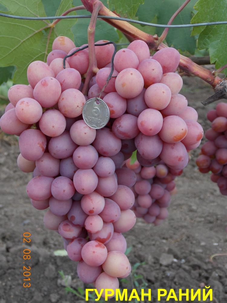 Сорт винограда гурман ранний отзывы